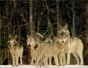 Most wild wolves will lose federal protection. The sates have interest in protecting wolves--a key animal in ecosystem health.