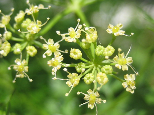 Parsley in bloom