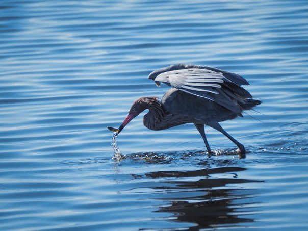 Reddish Egret and Minnow