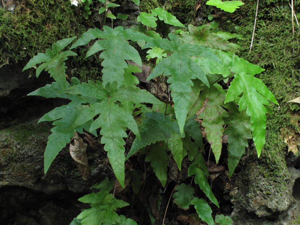 Tectaria Fimbriata Large Sinkhole Castellow Hammock Park
