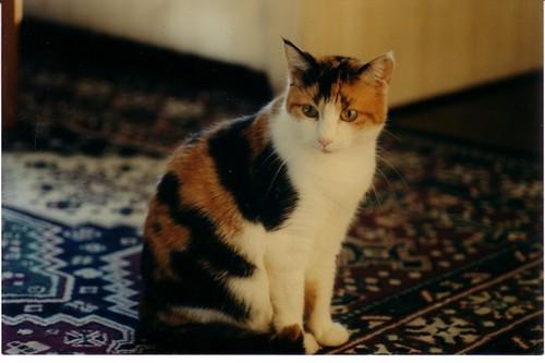 Gabby My Cute Calico Cat An Album On Flickr