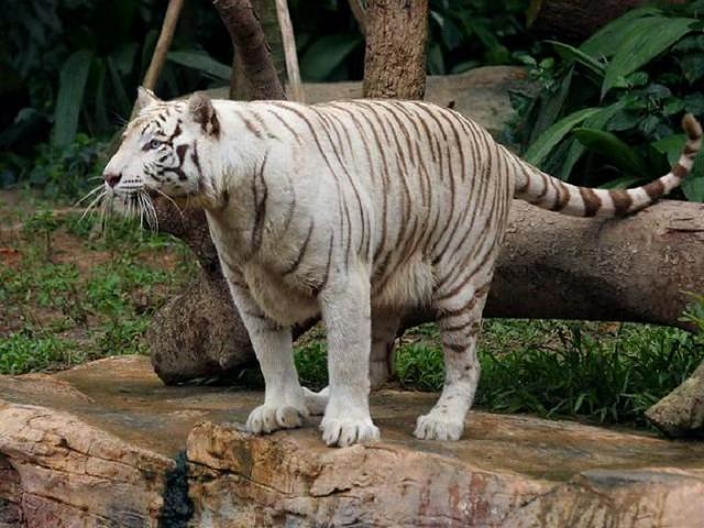 Tiger Blue Eyes White