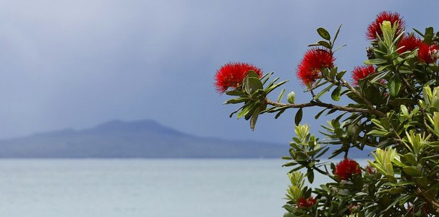 NZ Christmas Tree This Is The Pohutukawa Tree Each