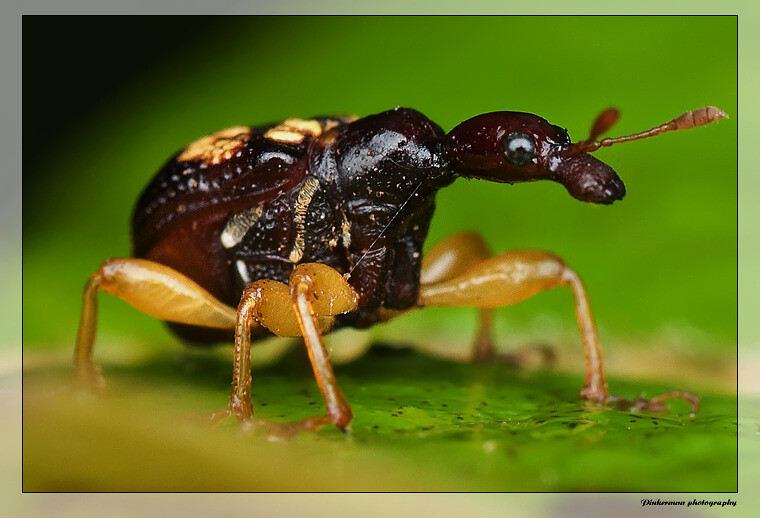 Giraffe Scientific Name Weevil