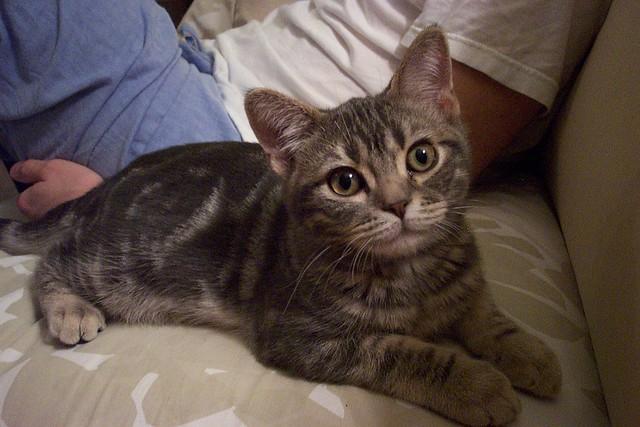 Blue Tabby American Shorthair Kitten Isaak 4 Months Old