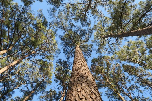 Looking up at the cedars in the front yard at Tomball
