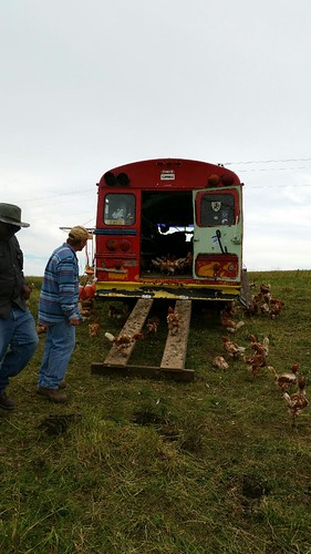 The Chicken Ranching Bus Contains 300 Laying Hens