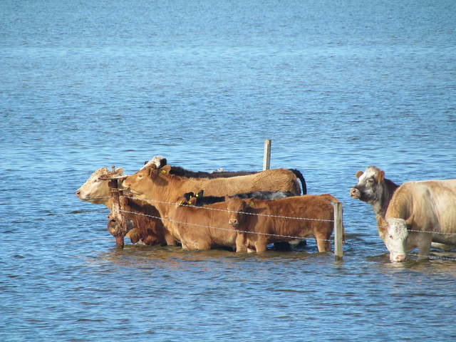 How cows chill out
