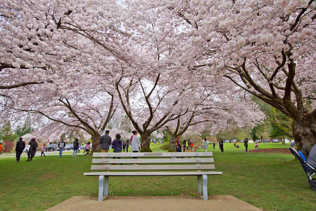 Cherry Blossoms Queen Elizabeth Park GoToVan Flickr