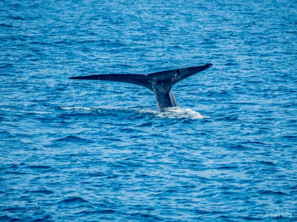 Blue Whale - Mirissa, Sri Lanka.jpg