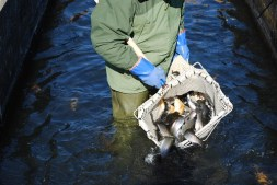 Photo of trout at state hatchery