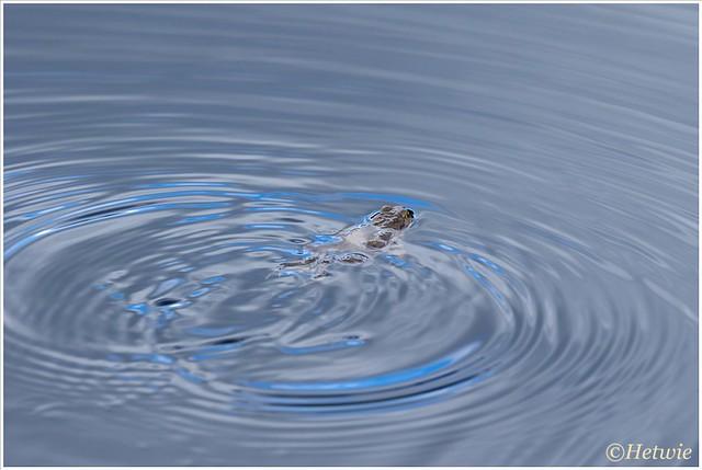 op kikkerjacht in de Groote Peel