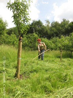 Scything a community orchard in Stockport
