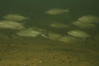 Underwater photo of striped bass school