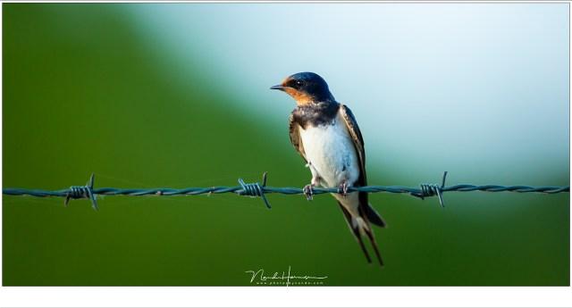 Soms komen de vogels dichtbij, zoals deze nieuwsgierige boerenzwaluw (ISO800 | f/5,6 | /640 | 7,25 meter afstand | geccrop in 1:2 formaat)