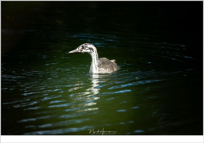 Een jonge Fuut zwemt een zonverlichte plek op het water in, op 17,2 meter afstand (volgens exif) (ISO125 | f/5,6 | 1/160)