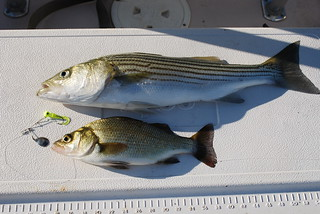 Photo of Striped bass and white perch with a spinnerbait that caught both