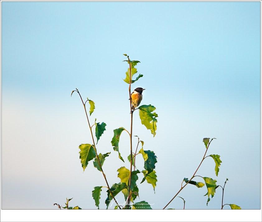 Zelfs met 800mm is het brandpunt vaak te kort voor de kleine vogels zoals deze Roodborsttapuit. Voor dit soort klein gevleugelte is de kleine afstand die een vogelhut kan bieden natuurlijk beter dan tijdens een wandeling door de natuur (ISO100 | f/6,3 | 1/400 | 19 meter afstand, 30% gecropt)