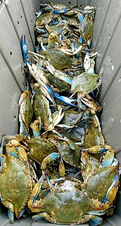 Photo of tub full of beautiful looking September crabs.
