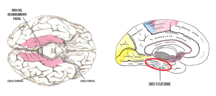 Áreas cerebrales del reconocimiento facial