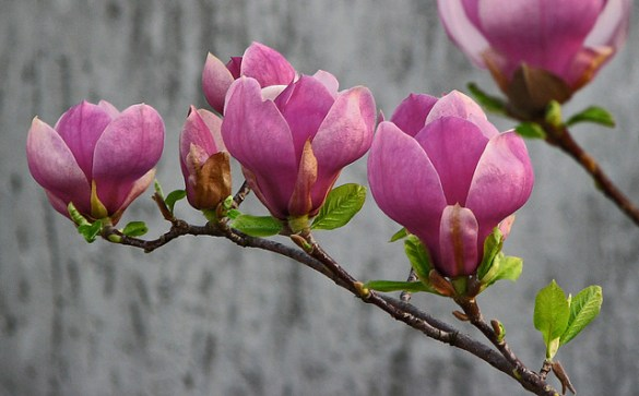 Magnolia flowers   Colorful magnolia flowers in front of gra     Magnolia flowers   by Falcon1000 Magnolia flowers   by Falcon1000