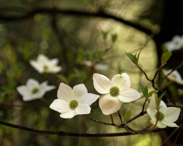 Yosemite Valley Dogwood