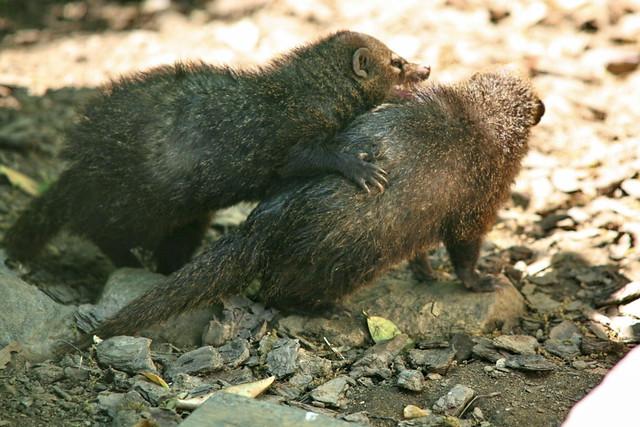 Dark Mongoose Or Cusimanse Crossarchus Obscurus