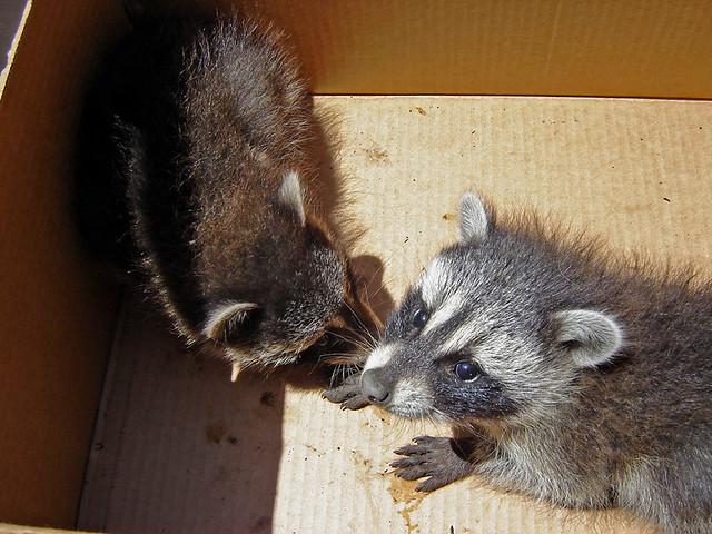 Baby Raccoon RESCUE 2 Of 4 Photos I Belong To An Urban