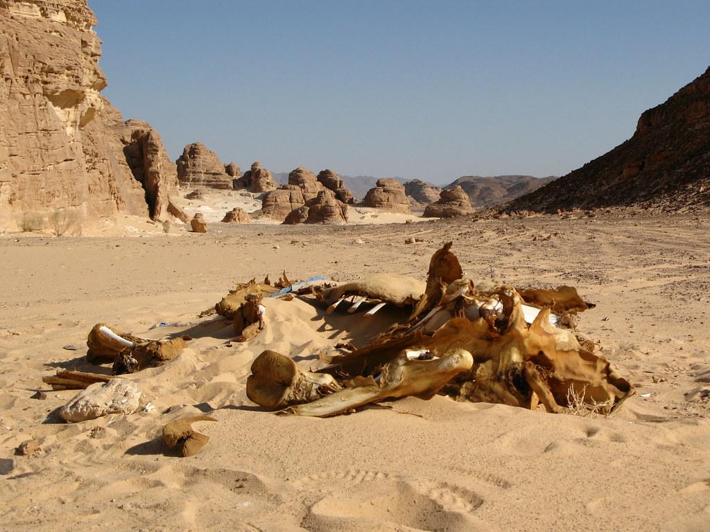 Dead Camel In Desert Prilfish Flickr