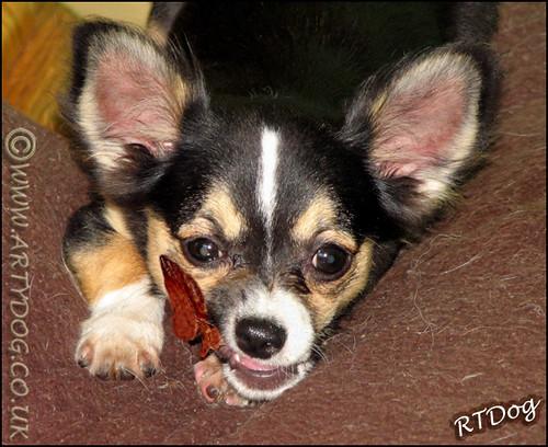 Tri Colour Long Haired Chihuahua Puppy Portrait Atticus
