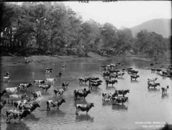 Dairy herd, Bodalla
