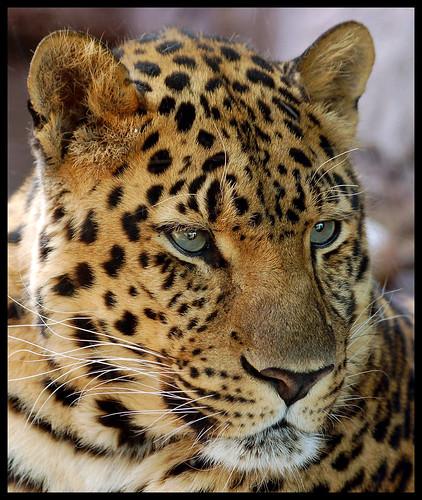 Amur Leopard Portrait The Amur Leopard Panthera Pardus