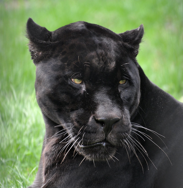 Black Panther Images Zoo Wildlife
