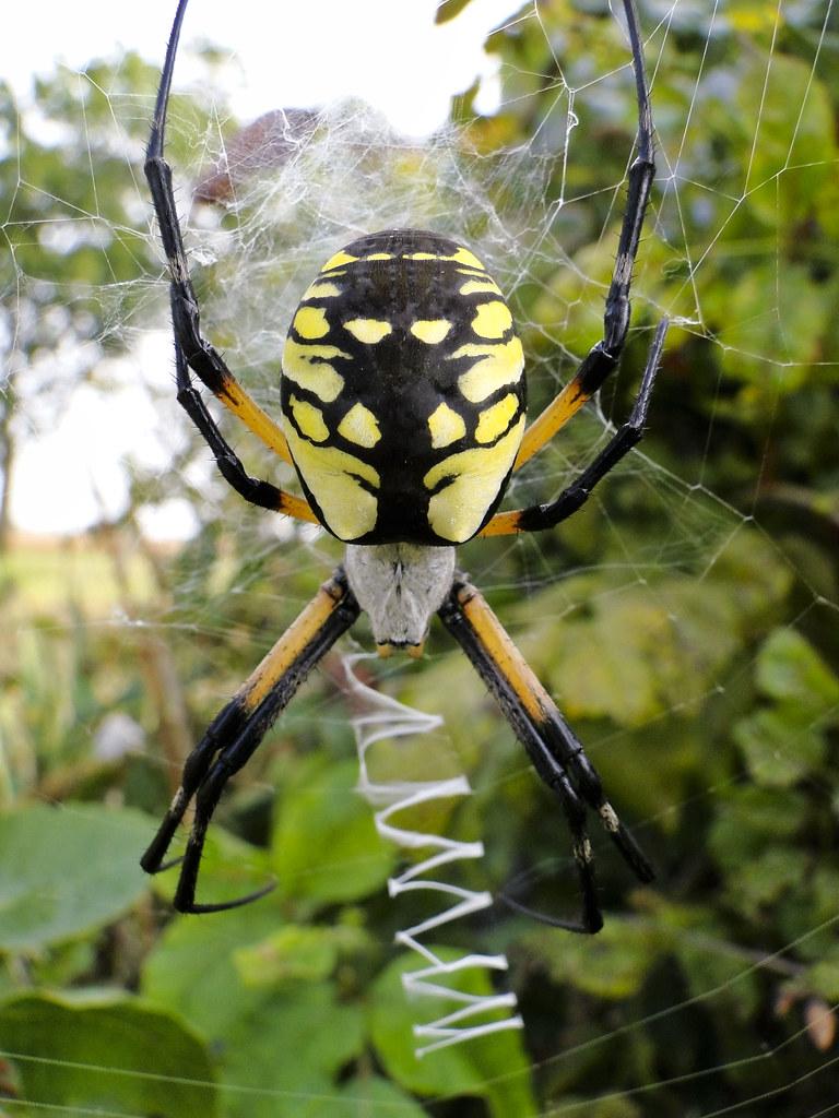 Argiope Spider Yellow