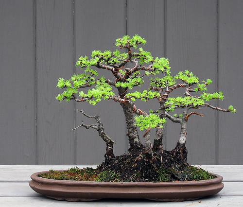 Larch Forest Shohin 4 23 09 This Is A Shohin Larch