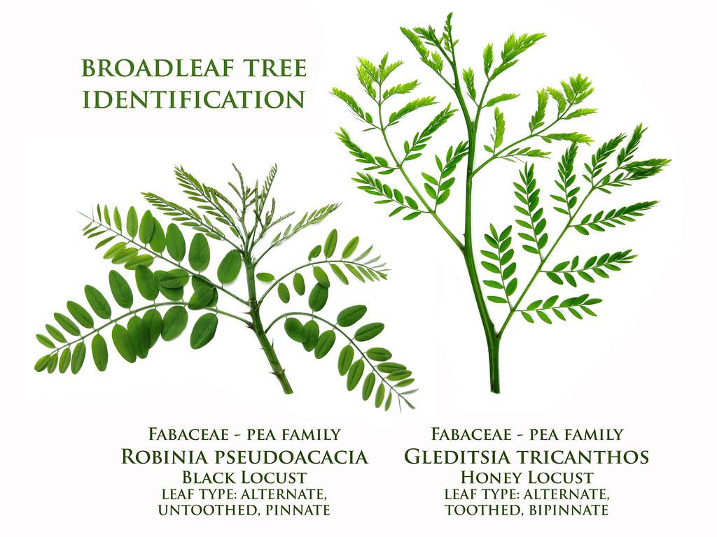 Honey Locust Tree Identification