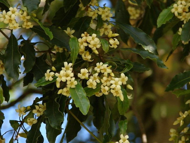 Pittosporum Undulatum Native Daphne Small Tree