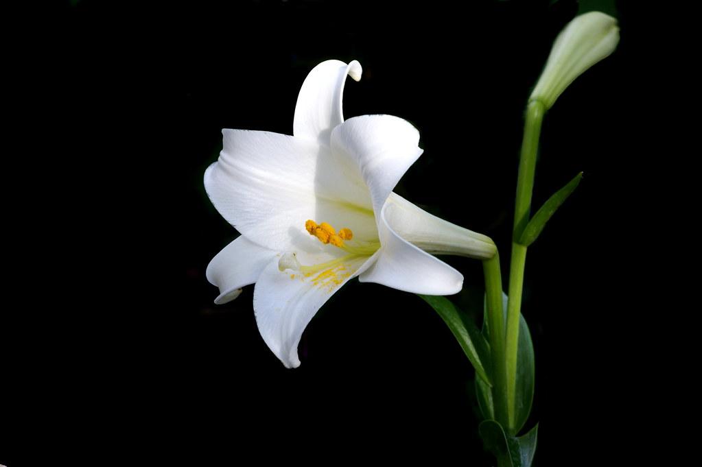 Lilium Longiflorum Lilium Longiflorum Japanese