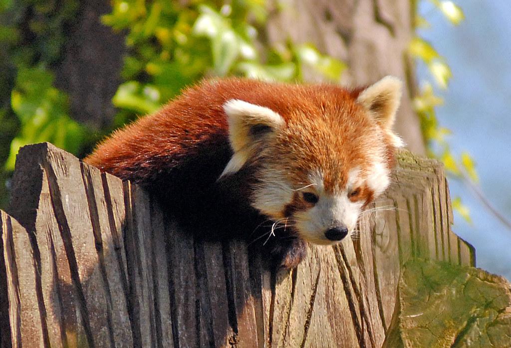 Red Map Habitat Panda