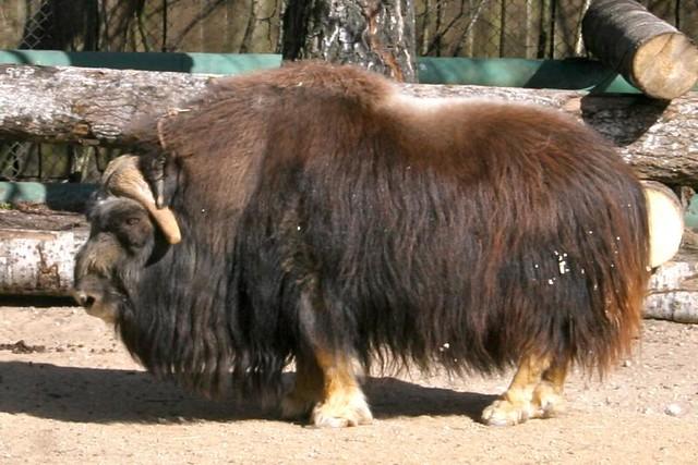 Musk Ox At Tallinn Zoo Tony Bowden Flickr