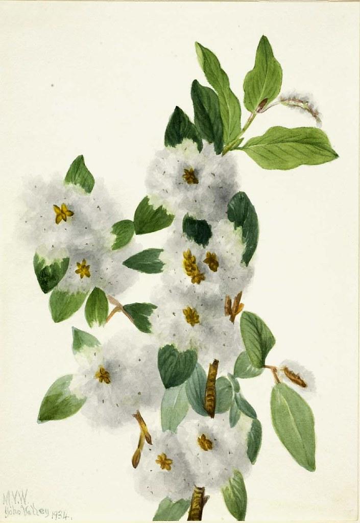 Mary Vaux WalcottRock Willow Salix Vestita 1934 Flickr
