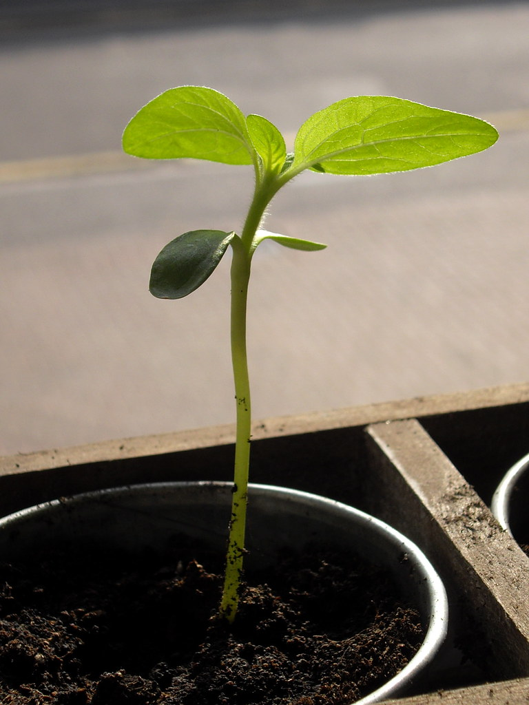 Sunflower Seedling Rev Stan Flickr