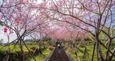 鹿谷旅�︱�大茶園 河津櫻粉嫩階梯隧�.�櫻繽紛的春�盎然