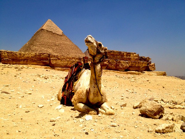 camel kneeling in front of pyramid in giza