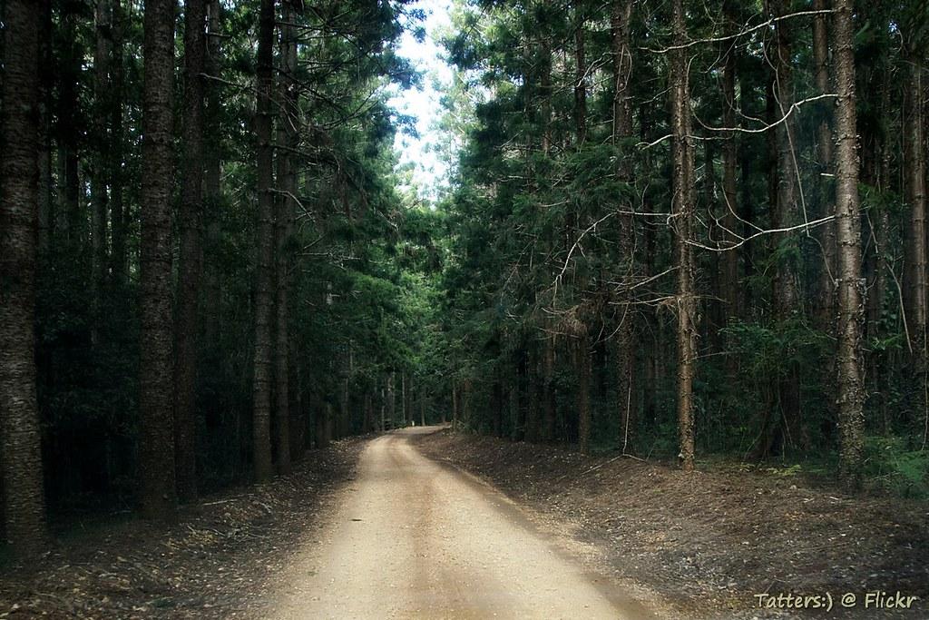 Mount Mee Forest Drive Plantations Of Hoop Pine Hoop