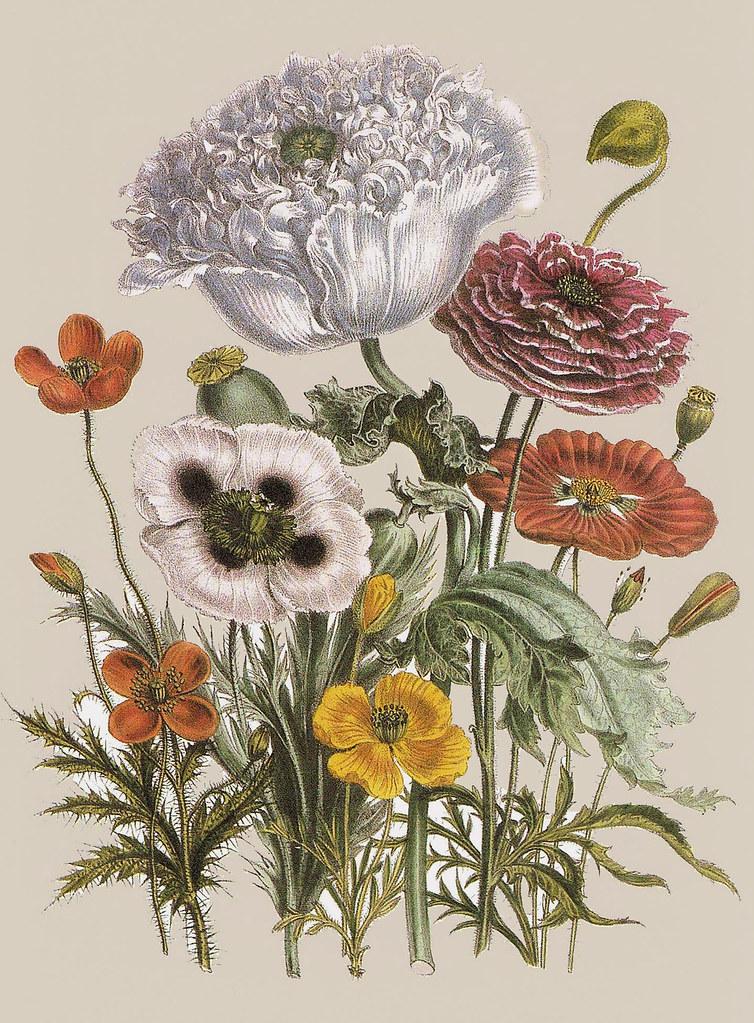 Quot Exotic Botanicals Quot Papaver Horridum Papaver Setigerum