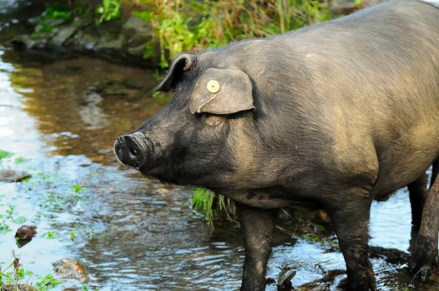 < Black pork party >