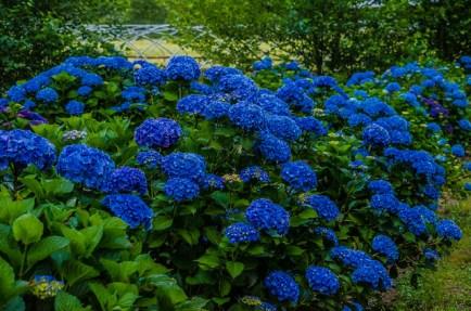 dark blue hydrangea