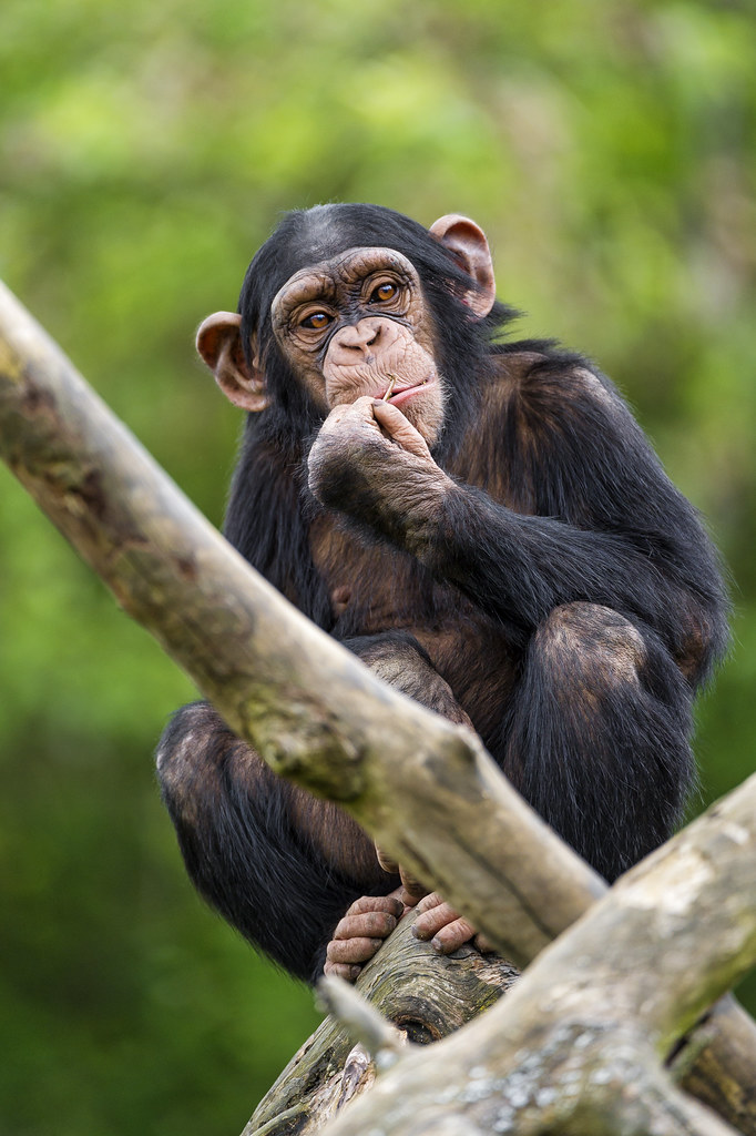Another Young Chimpanzee On The Tree Another Picture Of