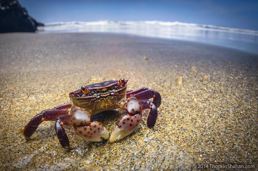 Purple Shore Crab Hemigrapsus Nudus Neskowin Beach Or